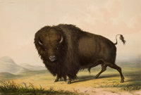 GEORGE CATLIN (American, 1796-1872) North American Indian Portfolio Buffalo Bull, Grazing (Plate