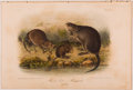 Books:Prints & Leaves, John James Audubon. Hand-Colored Lithographic Print of Musk Rat- Musquash. Plate XIII. Taken from The Quadrupeds ...
