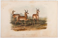 Books:Natural History Books & Prints, John James Audubon. Plate LXXVII: Prong-Horned Antelope Hand-Colored Lithograph From The Quadrupeds of North America...