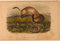 Books:Prints & Leaves, John James Audubon. Hand-Colored Lithographic Print of the BlackFooted Ferret. Plate XCIII. Taken from The Quadru...