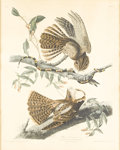 Decorative Prints, American:Prints, An American Handcolored Print. . John James Audubon (1785-1851),American . Chuck Will's Widow, pl. 52, 1829 - . Handcol...