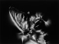Photographs:20th Century, WALTER CHAPPELL (American, 1925-2000). Hawaiian Butterfly,Volcano Hawaii, 1975. Gelatin silver, printed later. 9-3/4 x...
