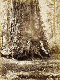 CARLETON WATKINS (American 1829 - 1916) Section of the Grizzly Giant, Mariposa Grove, No. 118, circa 1865-1870 Mammoth...