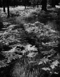Photographs:20th Century, ANSEL ADAMS (American, 1902-1984). Ferns, Yosemite Valley,circa 1945. Gelatin silver, before 1970. 9-3/8 x 7-3/8 inches...