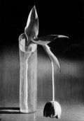 Photographs:20th Century, ANDRÉ KERTÉSZ (Hungarian, 1894-1985). Melancholic Tulip,1939. Gelatin silver, printed later. 9-3/4 x 6-7/8 inches (24.6...
