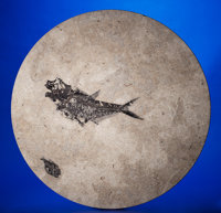 FOSSIL FISH TABLE TOP