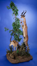 Zoology:Taxidermy, FULL-BODY ANTELOPE PAIR DIORAMA. ...
