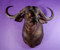 Zoology:Taxidermy, CAPE BUFFALO SHOULDER MOUNT. ...