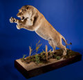 Zoology:Taxidermy, SUPERB LIONESS FULL-BODY MOUNT. ...