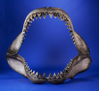 LARGE MEGA-SHARK JAW WITH FOSSIL TEETH