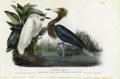 Antiques:Posters & Prints, Reddish Egret Audubon Royal Octavo Print. Plate number 371 features the Reddish Egret. An adult with its full white spring p...