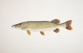 Mainstream Illustration, FLICK FORD (American, b. 1954). Northern Pike, 2005.Watercolor on paper. 26 x 40 in.. Signed lower right. ...