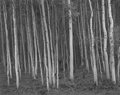 Photographs:20th Century, GEORGE A. TICE (American, b. 1938). Aspen Grove #2, Aspen,CO, 1969. Gelatin silver, 1992. 10-1/2 x 13 inches (26.7 x33...