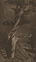 Photographs:20th Century, ANNE BRIGMAN (American, 1869-1950). The Dying Cedar, circa1906. Vintage photogravure. 9 x 5-3/8 inches (22.9 x 13.6 cm)...
