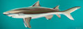 Paintings, Ken Luce (American, 20th Century). Lemon Shark (after Frank Stick). Acrylic on canvas. 25 x 72 inches (63.5 x 182.9 cm)...