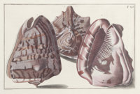 A PAIR OF FRAMED HAND COLORED ENGRAVINGS OF SHELLS BY GUALTIERE Circa 1746 10-1/4 x 15-1/4 inches (26.0 x 38.7