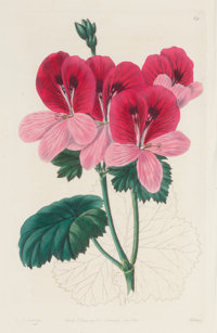 A SET OF EIGHT FRAMED HAND COLORED ENGRAVINGS OF FLOWERS BY ROBERT SWEET Circa 1832 8-1/2 x 5-1/2 inches (21.6
