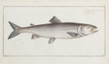 Prints, FRAMED SET OF FOUR HAND-COLORED ENGRAVINGS OF SALMON, AFTER MARCUS ELIZER BLOCH . Circa 1784. 9-1/2 x 16 inches (24.1 x 40.6... (Total: 4 Items)