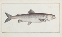 FRAMED SET OF FOUR HAND-COLORED ENGRAVINGS OF SALMON, AFTER MARCUS ELIZER BLOCH Circa 1784 9-1/2 x 16 inches (